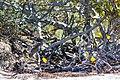 Yellow-crowned night-heron (33193991536).jpg