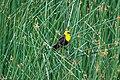 Yellow-headed Blackbird (Xanthocephalus xanthocephalus), Strawberry Heights, Kamloops (27237035394).jpg