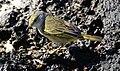 Yellow warbler Santa Cruz Las Bachas.jpg