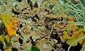 Yellowstriped Cardinalfishes (Apogon cyanosoma) (8475791129).jpg