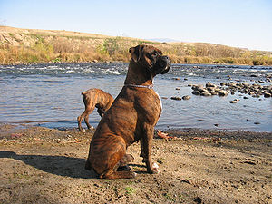 Boxer (dog) - A brindle boxer