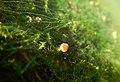 Young Aquatic fungus champignonAquatique à lamelles Moyenne-Deûle mai 2015 F.Lamiot 10.jpg