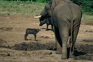 A young cape buffalo was so mesmerized by the ...