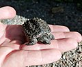 Young Snapping Turtle (36937920995).jpg