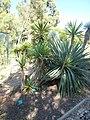 Yucca elephantipes.jpg