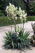 Yucca flaccida.jpg