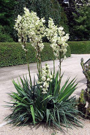 Yucca flaccida in the Royal Botanic Garden, Madrid