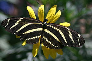 Wildlife of Costa Rica - The zebra longwing butterfly.