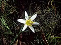 Zephyranthes mesochloa- Río Negro, Palmar 5.JPG