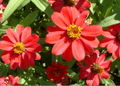 Zinnia close up.jpg