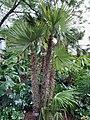Zombia antillarum specimen.jpg