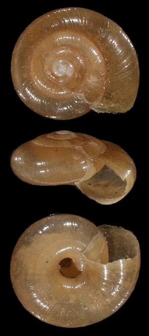 Zonitoides nitidus - Photo of the shell.