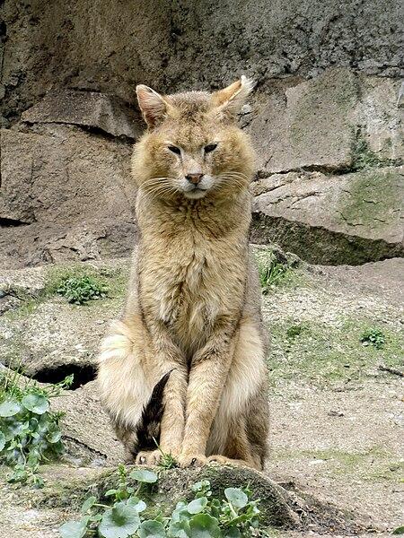 File:Zoo de Pont-Scorff Chaus 2.JPG