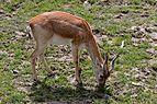 Zooparc de Beauval - Antilope asiatique - 2016 - 001.jpg