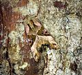 (73.113) (BF2306) Angle Shades (Phlogophora meticulosa) - Flickr - Bennyboymothman.jpg