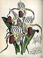(The Orchid Album Plate 008) Cypripedium stonei.jpg