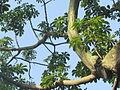 Árbol Barrigón - Pseudobombax septenatum 9.JPG