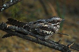 European nightjar