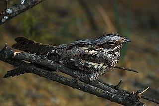 European nightjar Migratory bird found in Eurasia and Africa