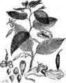 Бальзамное дерево (БЭАН).png