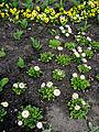 Ботсад, Черемшини,44, квіти.JPG