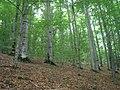 Буковий ліс в окол. м. Яремче.jpg