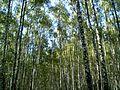 Бярозавы гай - panoramio.jpg
