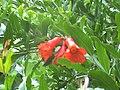 Гранат-цвіт.JPG