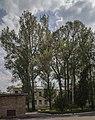 Група вікових дерев тополі білої 02.jpg