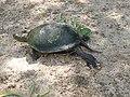 Европейская болотная черепаха.5.jpg