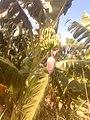 Здесь я в первый раз увидел, как растут бананы - panoramio.jpg