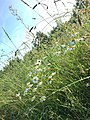 Июльские ромашки.jpg