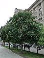 Майдан незалежностi. Цветут каштаны - panoramio.jpg