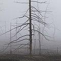 Мертвый лес рядом с Северным прорывом.jpg