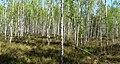 Молодий березово-вересковий ліс.jpg