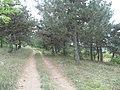 Приднестровье,близь с. Никольское - сосновый бор. - panoramio.jpg