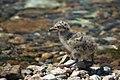 Птенец чайки на острове Голый.jpg