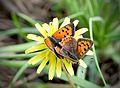 Червонец пятнистый (Многоглазка пятнистая) - Small Copper (American Copper, Common Copper) - Lycaena phlaeas - Малка огневка - Kleiner Feuerfalter (31660626055).jpg