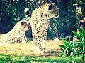 موش و ميشا الفهدين.jpg