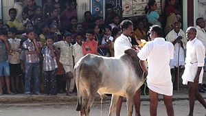 Jallikattu - Bull being prepared for Jallikattu.