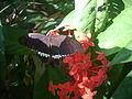 തെച്ചിയിലെ ശലഭം DSCN1471.jpg