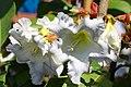 หิรัญญิการ์ Beaumontia grandiflora Wall. FAMILY APOCYNACEAE (10).jpg