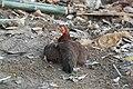 แม่ไก่เลี้ยงลูกไก่.jpg