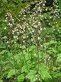 ズダヤクシュ Tiarella polyphylla.JPG