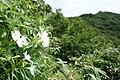 ヒロハシラネガンピ咲く太平山.jpg