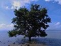 一颗生长在深圳湾的红树.jpg