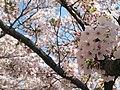 元気ある桜の花 - panoramio.jpg