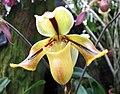 兜蘭屬 Paphiopedilum druryi -日本大阪鮮花競放館 Osaka Sakuya Konohana Kan, Japan- (41355915984).jpg
