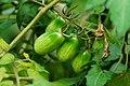 小番茄 Cherry Tomotoes - panoramio.jpg
