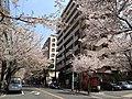 川崎鷺沼周辺の桜 - panoramio.jpg
